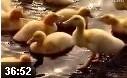 鸭子的养殖新技术